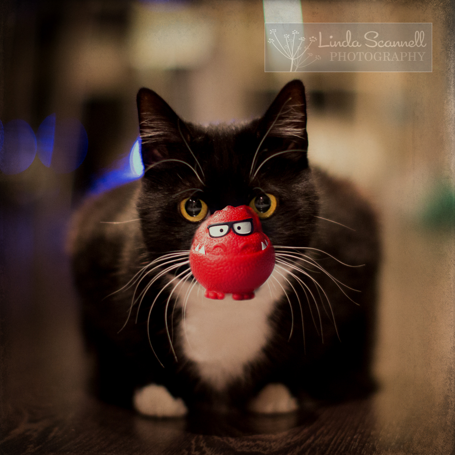 Cat photography - Cat with Red Nose - photoshopped
