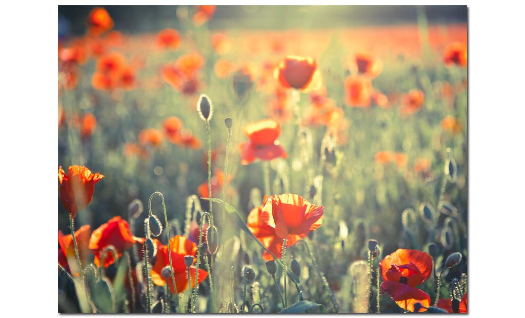 Poppies-landscape-photo