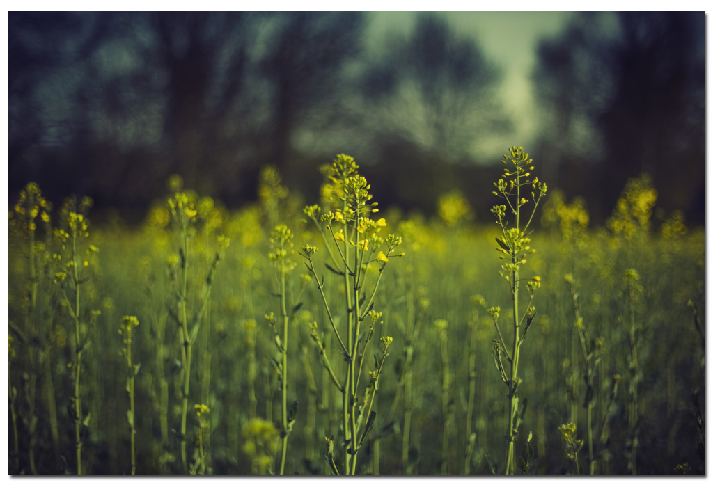 Spring-Yellow-OilseedRape