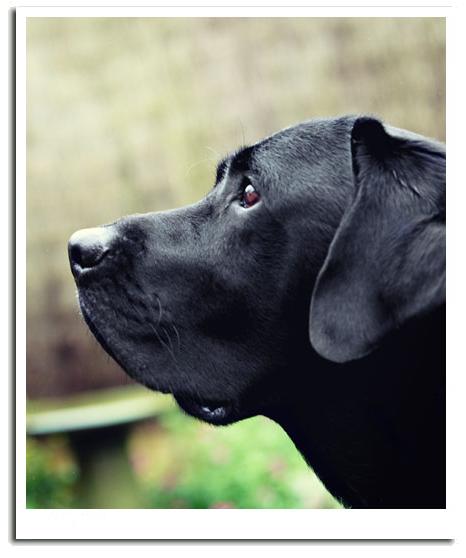 Professional dog photography - black labrador