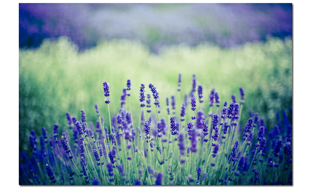 Lavender-2011-photo