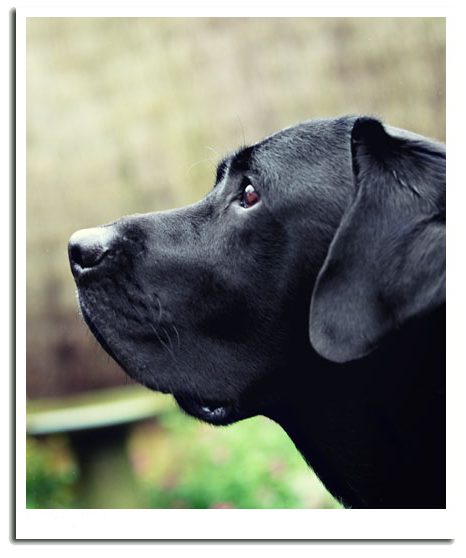 Professional dog photography - black labrador